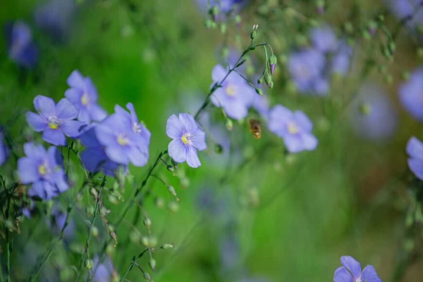 Focus on cluster of violet flax flowers growing in a green spring garden