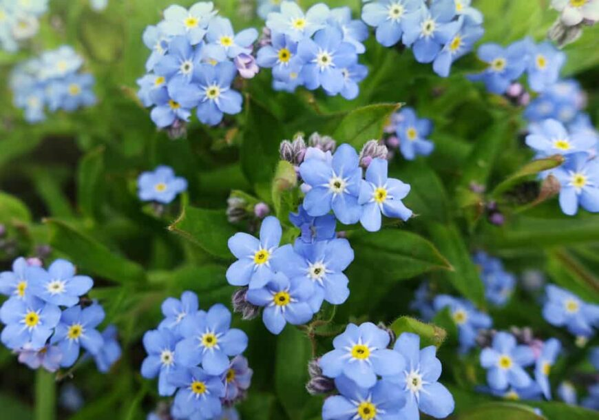 Lovely clusters of violet forget me not flowers growing in bunches