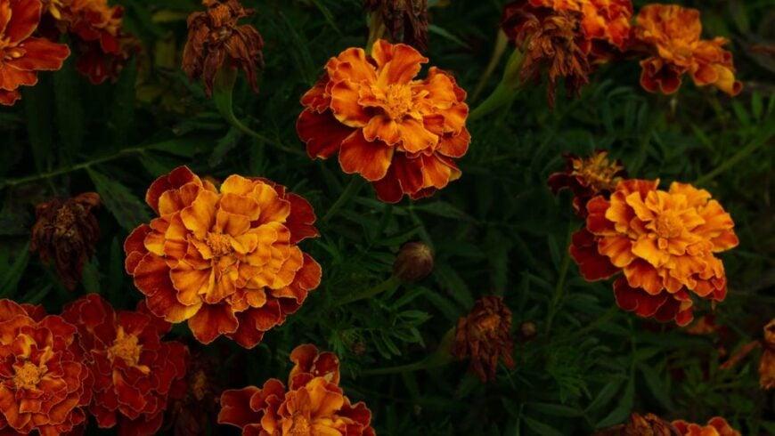 Focus on beautiful dark orange french marigold flower against dark green foliage growing in the garden