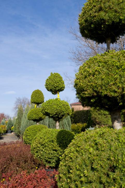 Garden of topiary ball trees